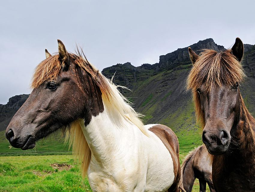 Islandpferde: sie trotzen Wind und Wetter.