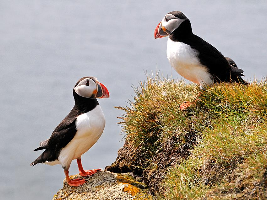 Typisch für Island: Papageientaucher