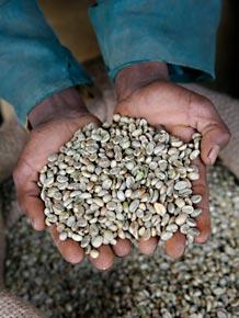 Die Kaffeebohnen werden per Hand verlesen.