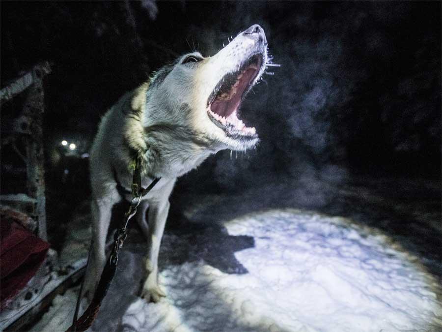 Bären, Wölfe, Rentiere und Elche: Im Norden Finnlands ist die Natur so urwüchsig, dass jeder Ausflug zur Safari wird. Wer die Tiere in der Taiga beobachten will, braucht Geduld.