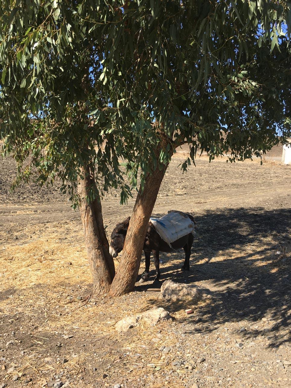 Begegnung des Tages: Dieser Esel stand wie viele andere Tiere angebunden am Straßenrand. Immerhin schien er wohlgenährt zu sein und ein wenig Schatten bei 33 Grad hatte er auch.